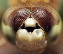 mata lalat